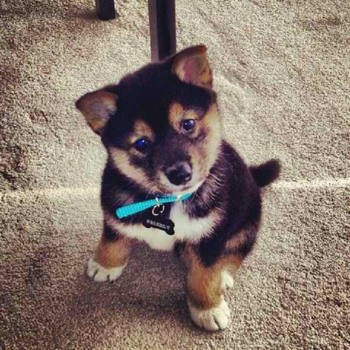 Shiba Inu puppy... I will own this dog one day :)