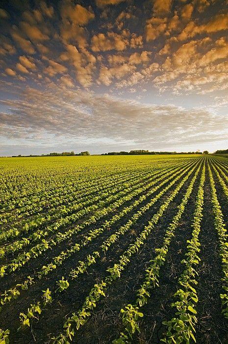 early growth soybean field near Lorette, Manitoba, Canada | David Reede on Fine Art America. #exploremb