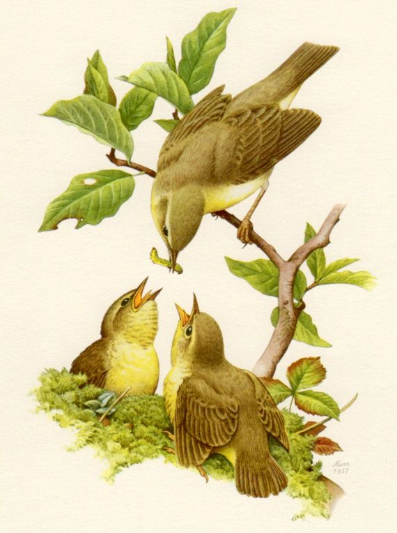 1957 Willow Warbler Antique Print Phylloscopus by Craftissimo
