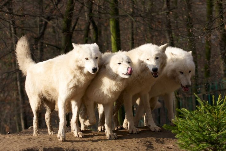 white wolves II by Tygrik.deviantart.com on @deviantART