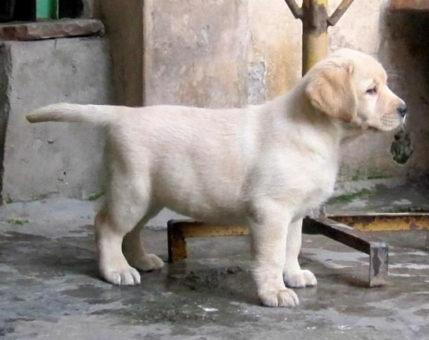 Heavy boned top quality labrador puppies