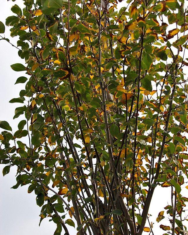 Amelanchier alnifolia 'Obelisk' -