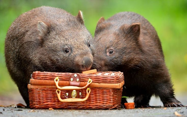Two orphaned wombats, called Turtle-belle and Phoenix, are all packed and ready for San Diego. Here they will become some of the first animals to move into the city zoo's new Australian habitat. The cuddly marsupials will travel in style, boarding a Qantas flight in comfortable custom-built crates, complete with a bed of hay. Picture: Jay Town/Newspix / Rex Features