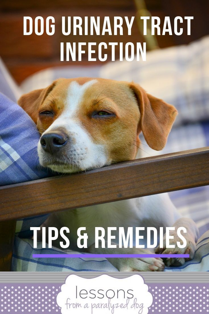 Tips To Prevent Urinary Tract Infection In Dogs With Incontinence