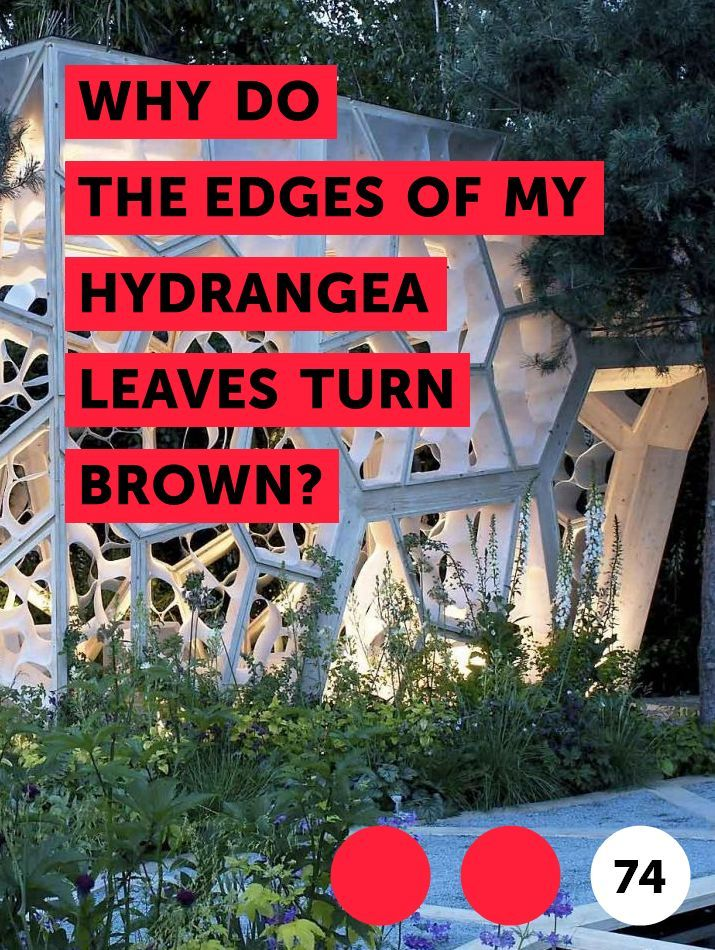 Learn Why Do The Edges Of My Hydrangea Leaves Turn Brown How To Guides Tips And Tricks Hydrangea Leaves Big Leaf Hydrangea Hydrangea Not Blooming