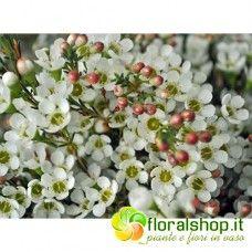 Wax flowers (fiori di cera) bianco - vaso Ø 18 - h 50 cm