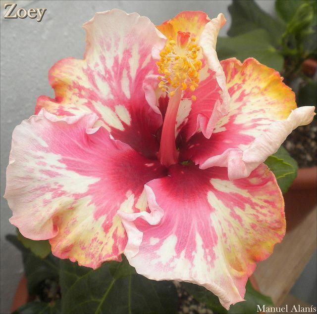 Hibiscus Flower And Curry Leaves For Hair Hibiscus Hibiscus Plant Hibiscus Growing Hibiscus