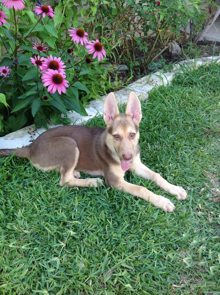 Liver German Shepherd Dog puppy | Dogs I want someday ...