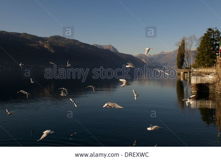Seagulls,lake Como,mountains,mandello Del Lario,italy Stock Photo, Picture And Royalty Free Image. Pic. 66096616