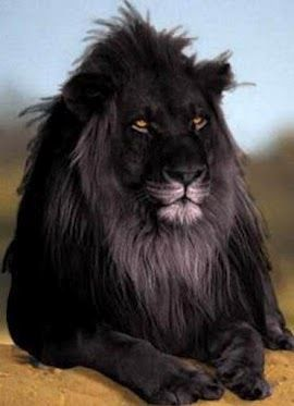 melanistic lion melanistic is actually the opposite of albino. So why does everyone know about albino but nothing about melanistics?