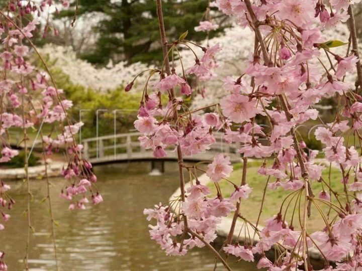 Japanese Garden Cherry Blossom Bridge 18 best الزرع حب ٌ وبجهة ٌ <3 images on pinterest | gardening