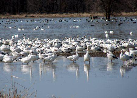 Migration des oies des neiges à Baie-du-febvre