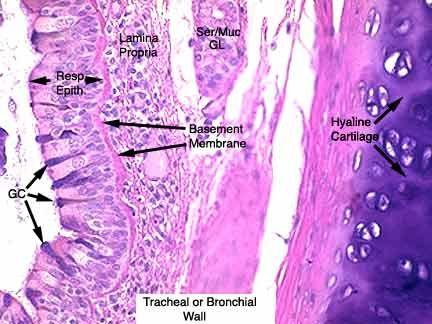 Trachea C S Histology Histology Respiratory