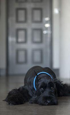 Giant Schnauzer Puppy Dog Puppies Hound Dogs