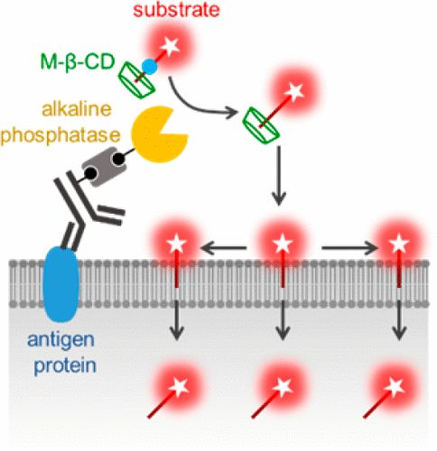 Alkaline Phosphatase-Catalyzed Amplification of a Fluorescence Signal for Flow Cytometry