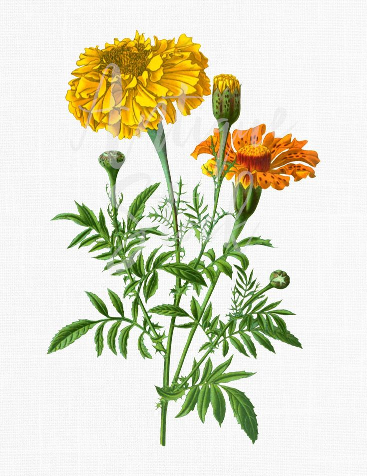 Flower Clip Art Aztec Marigold Digital Download Etsy in