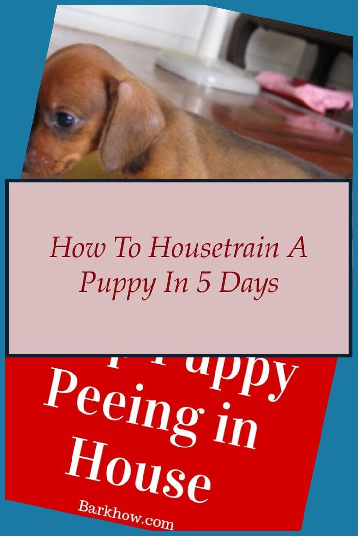 How to potty train a boxer puppy boxer house training