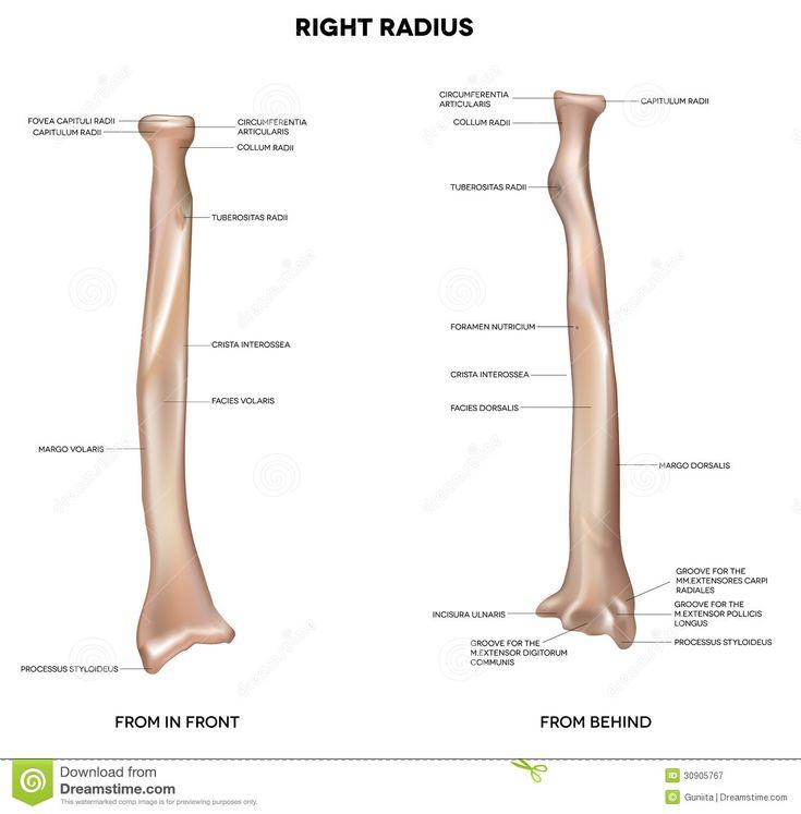 radius bone markings - Google Search
