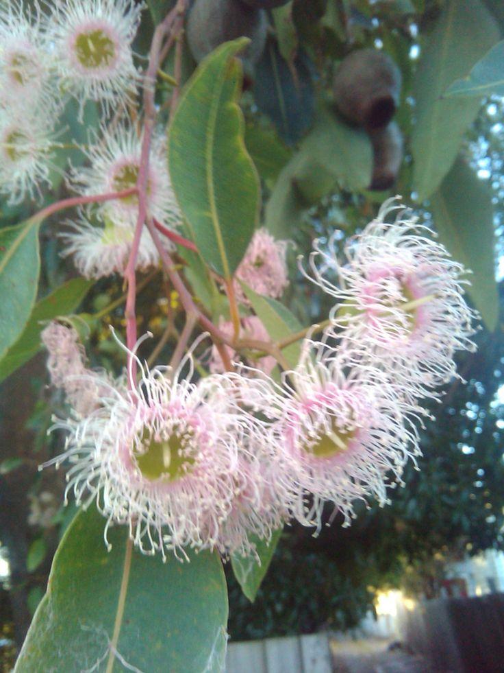 Flowering Gum Tree (Corymbia ficifolia)