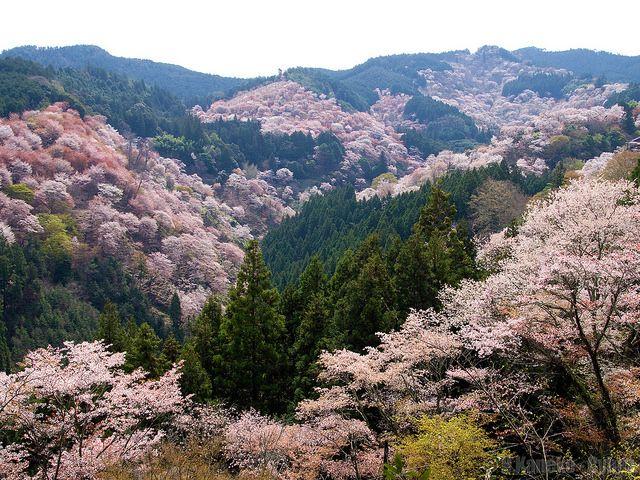 一目千本桜 (Cherry blooming view from Yoshimizu Shrine) #Japan #Spring #WorldHeritage