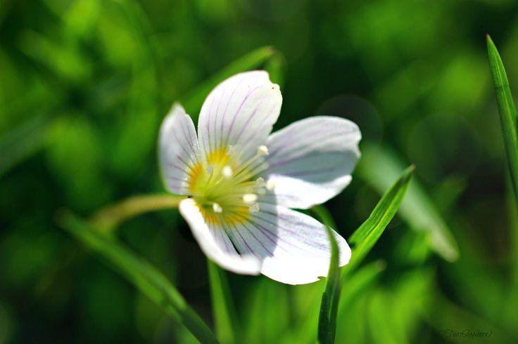 Kevättähtimö (ehkä) :)