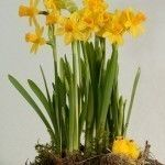 Although daffodils are amazingly easy to get along with, caring for daffodil bulbs after flowering is essential. Read this article for tips on what you need to know about the care of daffodil flowers after blooming. Click here to learn more.
