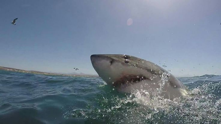 Our shark conservation volunteers may be lucky enough to meet Speckles... a shark tagged by OCEARCH in 2013 who's a sporadic visitor to our bay. 📷 Elton Polly