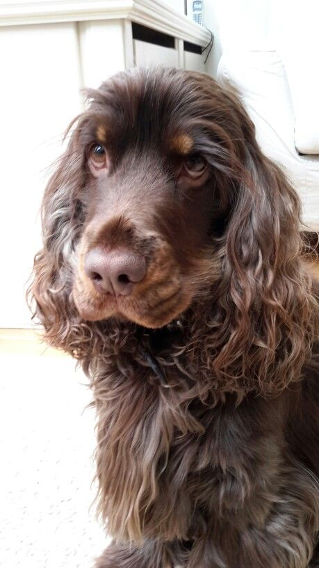 "...My own beautiful English cocker spaniel ""Guus""..."