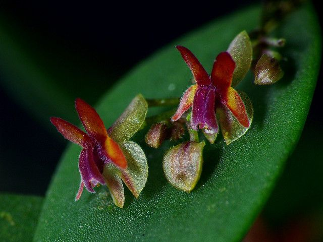 Lepanthes decipiens | It is a one shot macro, no software us… | Flickr