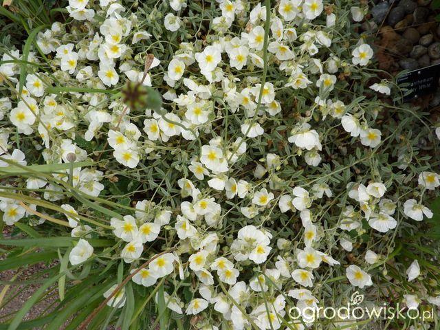 Rośliny na suche i słoneczne stanowiska - strona 3 - Forum ogrodnicze - Ogrodowisko