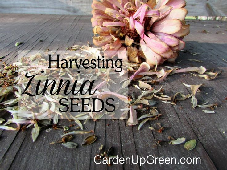 Enjoy growing Zinnias?  save the seeds each year it's easy to do .  Harvesting Zinnia Seeds