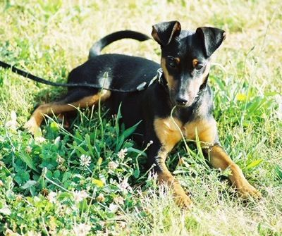 manchester terrier - looks just like Lola