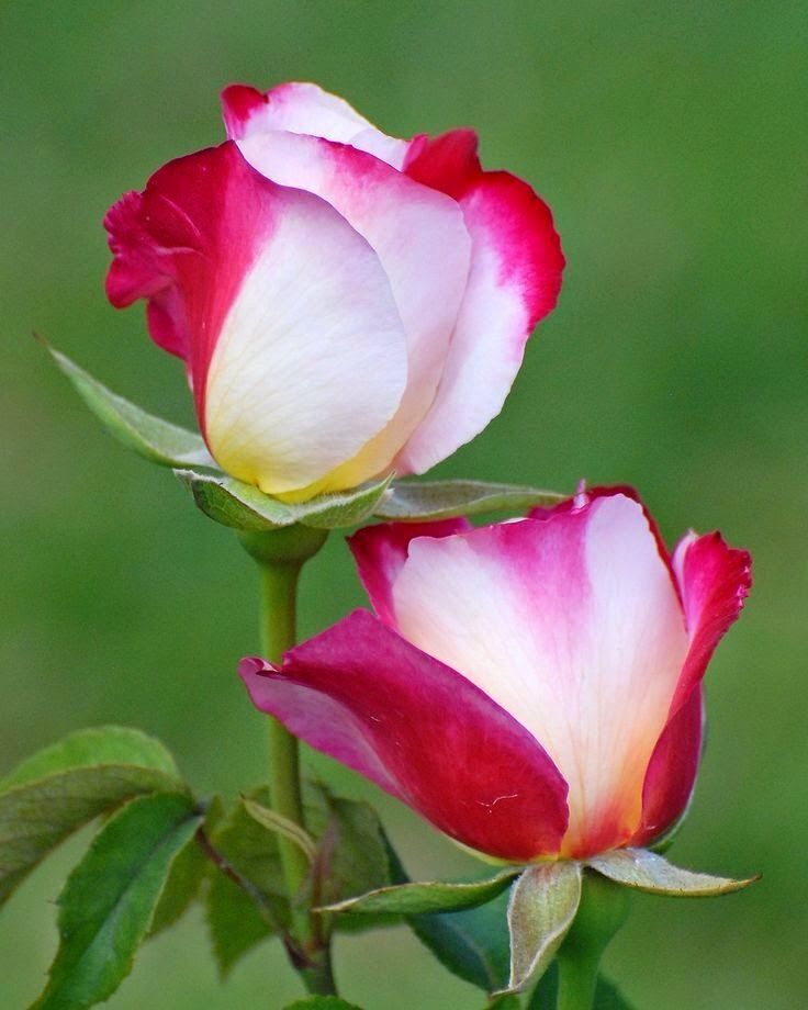 """simply-beautiful-world: """"Two toned rose """" ♥"""