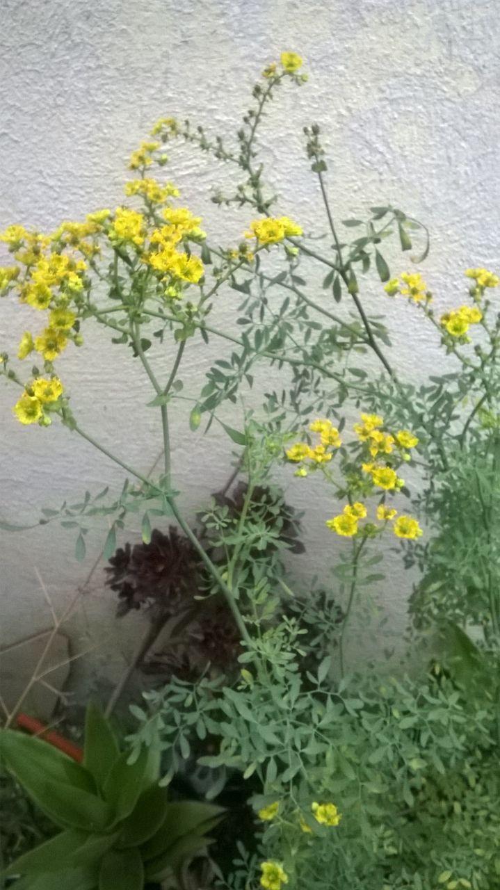 Flor de la ruda (planta medicinal) Photo by Manuel López