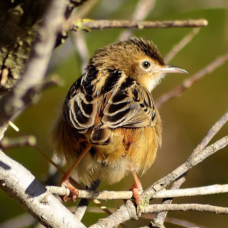 #locustella_luscinioides #buscarlaunicolor #boscalercomu #saviswarbler #littlebirds #pajarospequeños #pajaros #birds #birdsphotography #birding #birdswaching #natureshots #nature #naturaleza #naturelovers #birdphoto #wildlife #wild #wildlifeplanet #wildlifephotography #biology #rarebirds #goodvibes #buenasvibraciones #nikon #gypsysoul