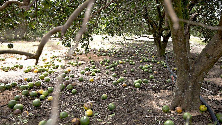 Sad news for Florida citrus farmers. OJ growers are devastated by Irma http://money.cnn.com/2017/09/14/news/economy/florida-orange-juice-hurricane-irma/index.html