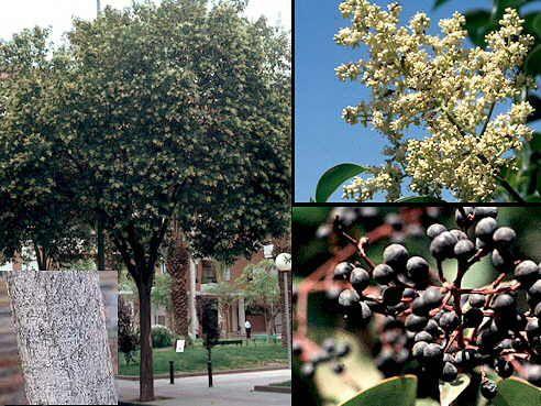 Aspecto general y detalle de la corteza, flores y frutos. Se llama aligustre lucida por lo brillante de sus hojas.