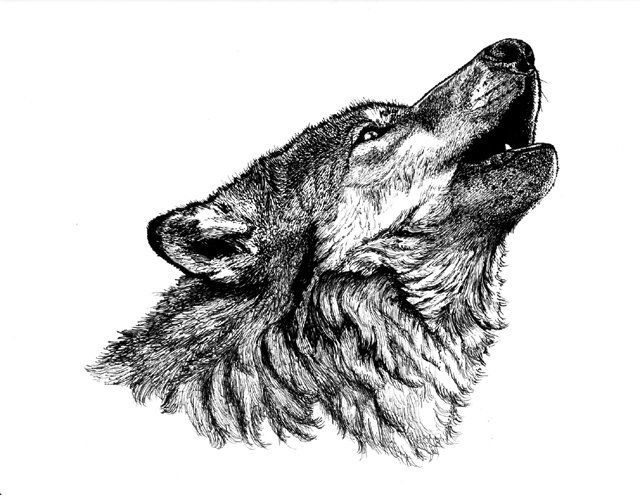 Gray Wolf Howling Drawing 250 best images about ...
