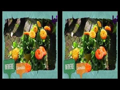 Calendula come proteggere i fiori consigli di - Giardinieri in affitto consigli ...
