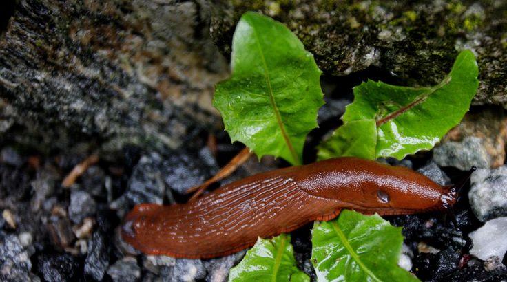 De fryktede brunskogsneglene våkner snart fra dvalen, klare for å spise planter i norske hager.