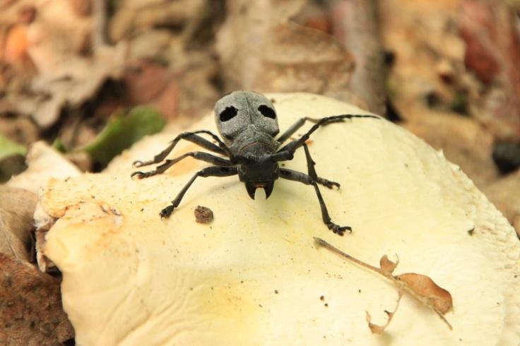 Morimus funereus beetle, Cerambycidae - Public Domain Photos, Free Images for Commercial Use