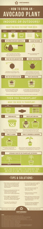 Hoe laat je een avocado groeien?