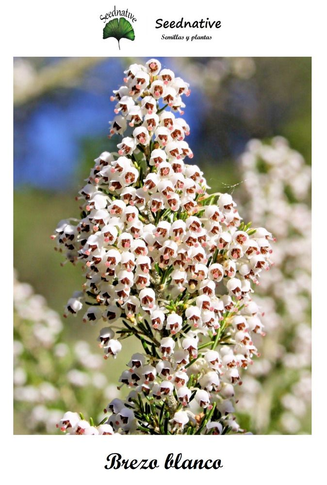 Erica Arborea Tree Heath Heather Or Heather White Is A Species Of Shrub Or Small Tree Of The Genus Erica Erica Seeds Need L Seeds Small Trees White Gardens