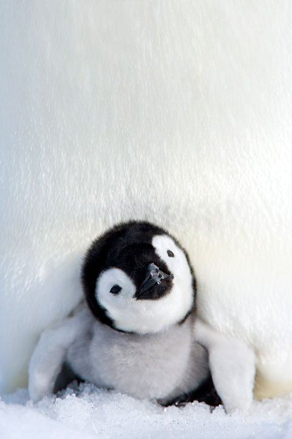 An emperor penguin chick peers out from under his mother in Snow Hill Island…