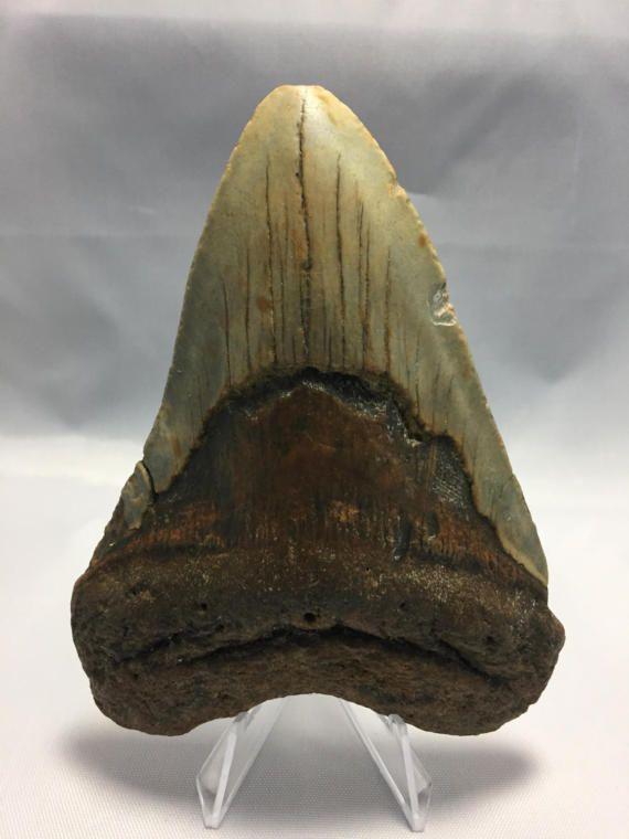 4.68 Fossil Megalodon Shark Tooth Ocean Teeth by CarolinaFossils44