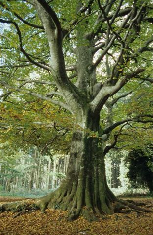 Par leur âge vénérable et le respect qu'ils inspirent, ces grands arbres sont des vestiges vivants du passé