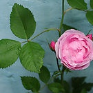 Sweet Ali's rose
