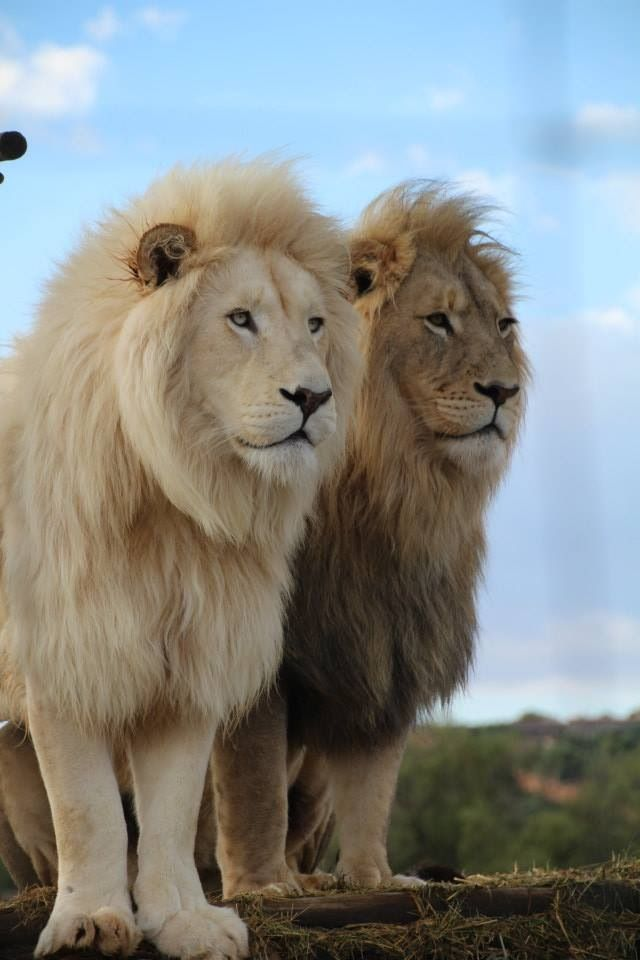 Lions are so beautiful ( the albino lion is stunningly beautiful though and obviously much rarer, so a gr8 asset for this zoo, as draws the crowds ) ❤️