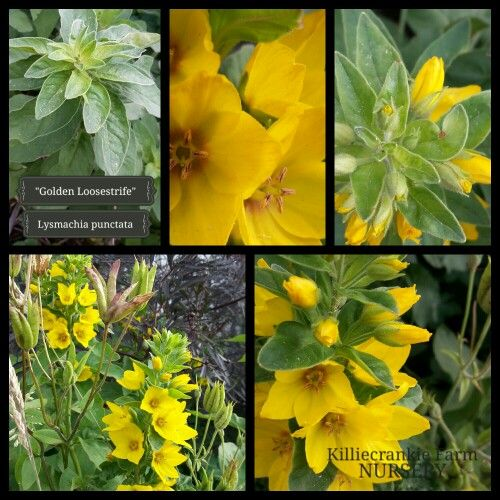 """""""Golden Loosestrife"""" happy on a southern facing garden in all day shade or morning sun."""