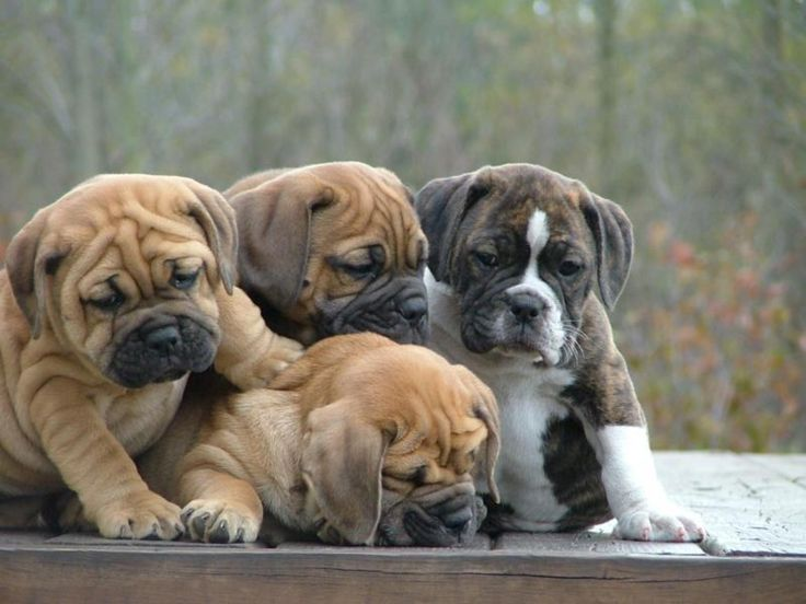 English Bulldog Puppies | English Bulldog Puppies, New Dog Funny Pet Pictures | Dogs,Cats,Birds ...: Photos, Animals, English Bulldog Puppies, Boxer, Pets, Puppys, English Bulldogs Wrinkles, Funnies, Funny Animal